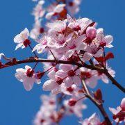 Shizuka Ryokan has many cherry blossoms